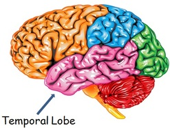 Temporal Lobe   Facts, Position In Brain, Summary & Function